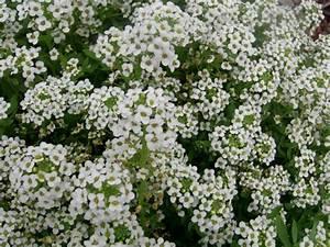Pflanzenlexikon Mit Bild : steinkraut wei obi ~ Orissabook.com Haus und Dekorationen