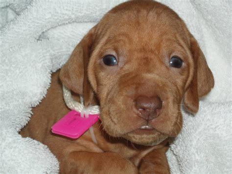 Vizsla Shedding Puppy Coat by Vizsla Breed Information Puppies Pictures