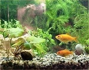 All About Aquarium Fish Tank Size for Goldfish