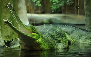 Animals  Nature  Gharial  Crocodiles Wallpapers Hd    Desktop And Mobile Backgrounds