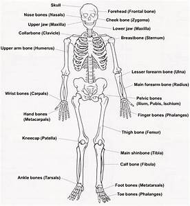 Diagram Of Human Skeleton For Students