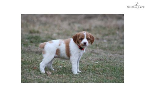 french brittany spaniel puppies for sale by french