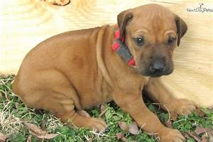 T Red Male: Rhodesian Ridgeback puppy for sale near Tyler ...