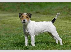 Parson Russell Terrier Puppies, Pictures, Information