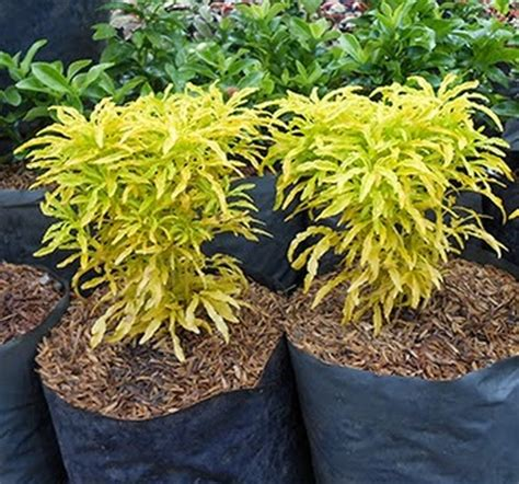 tanaman brokoli kuning bibitbungacom