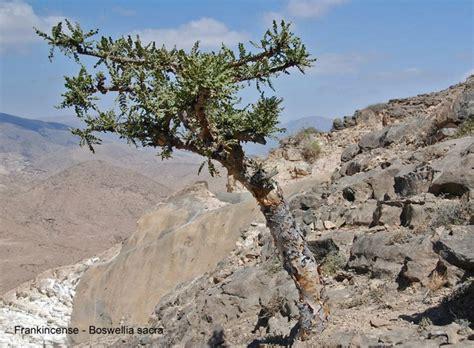 boswellia sacra tree pin by mark wood on arboretum pinterest