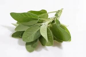 La Sauge Plante : la sauge plante anti ge ~ Melissatoandfro.com Idées de Décoration