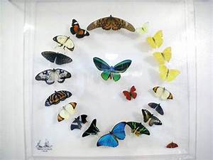 Maurice Butterfly Art – Unique butterfly art, paintings ...
