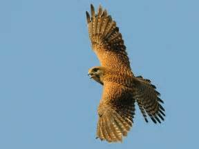 flying falcon birds animals background wallpapers