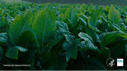 Chemicals Cigarettes Plant Cigarette Puff Tobacco Groups