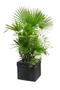 Palme Winterhart Kübel : palmen im garten einpflanzen und in k beln richtig ~ Michelbontemps.com Haus und Dekorationen