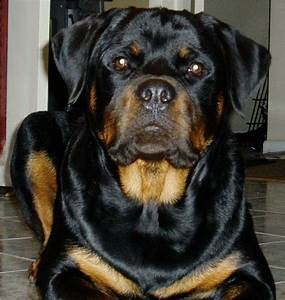 FEMALE ROTTWEILER | Fur~Babies | Pinterest