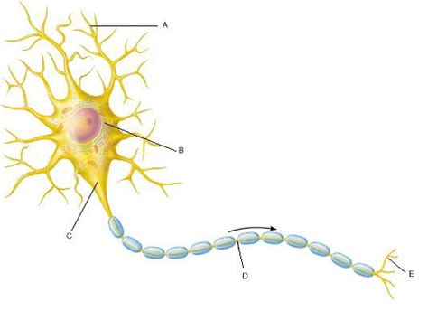 The Cell Membrane Of Axon Diagram