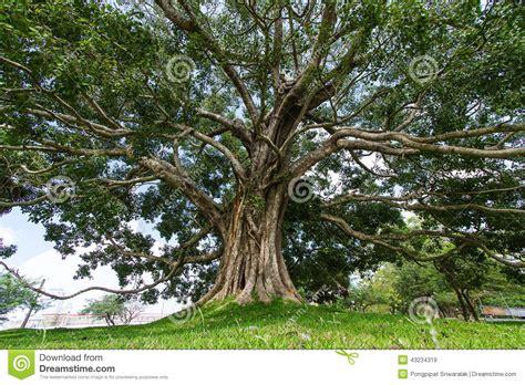 bodhi tree images giant bodhi tree anuradhapura sri lanka stock image image of attraction faith 43234319