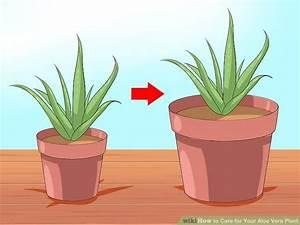 Aloe Vera Ikea : how to care for your aloe vera plant 10 steps with pictures ~ Preciouscoupons.com Idées de Décoration