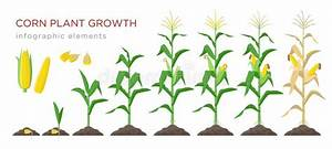 Maize Plant Diagram  Infographic Elements With The Parts