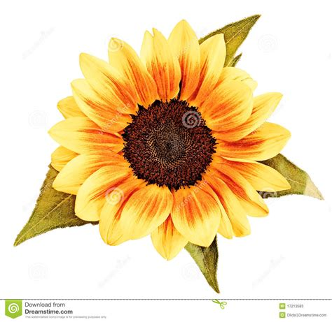 sunflower drawing stock  image