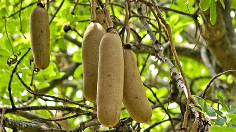Traditional Medical Uses For The Sausage Tree Fruit