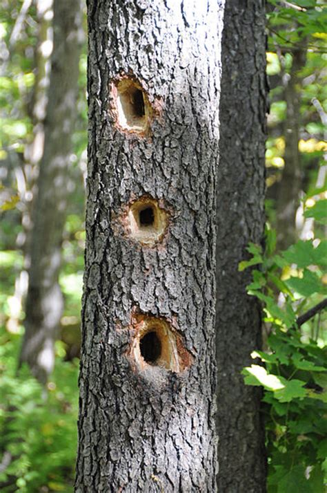 my temple of nature woody woodpeckers