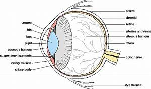 Rods And Cones Eye Diagram