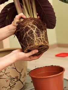 Hortensie Umpflanzen Im Topf : umpflanzen von topfpflanzen ein zeichen dass die pflanze verpflanzt werden muss ist dass die ~ Orissabook.com Haus und Dekorationen