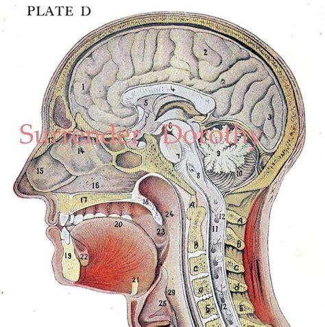 Cross section of a human bone. Cross-Section Human Head Brain Anatomy Lithograph Illustration