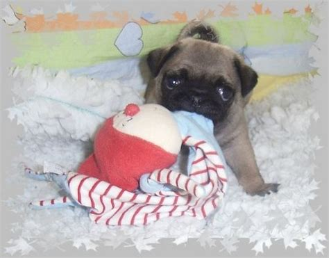 File Ee  Pug Puppies Ee   Mops Welpen Beige Jpg Wikimedia Commons