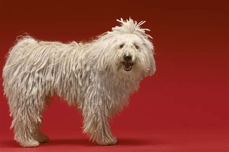 puli dogs breed information omlet