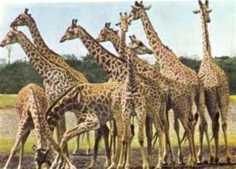 cuisine afrique comment comprendre et observer les girafes