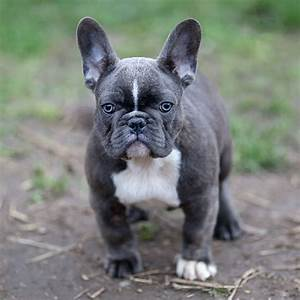 Blue French Bulldog - The Ultimate Guide - French Bulldog ...