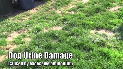 plant lawn seed  repair dog lawn spots youtube