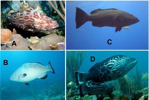grouper virginia groupers belize phases ichthyology tech class bonaci blotched headed mycteroperca including dark light
