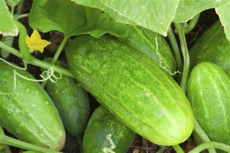 Gurken Säen So Sollten Sie Vorgehen  Gemüsegarten Und