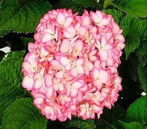 Hortensie Wims Red : 91 best hortensien images on pinterest hydrangeas ~ Michelbontemps.com Haus und Dekorationen
