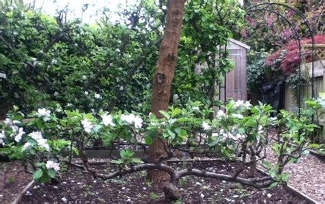 stepover apple tree  capel manor gardens enfield