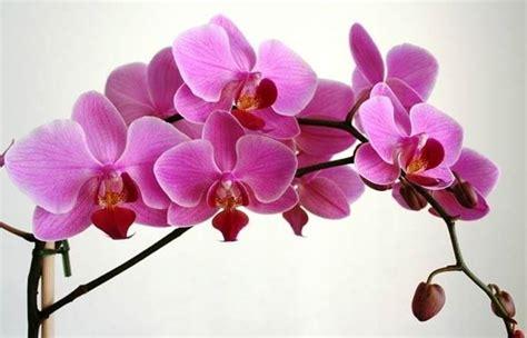 fioritura delle orchidee come farle fiorire e rifiorire