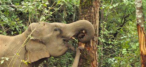 elephant cuisine conservation internship with elephants in gvi uk