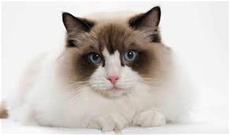 do ragdoll cats shed do ragdoll cats shed all pet magazine