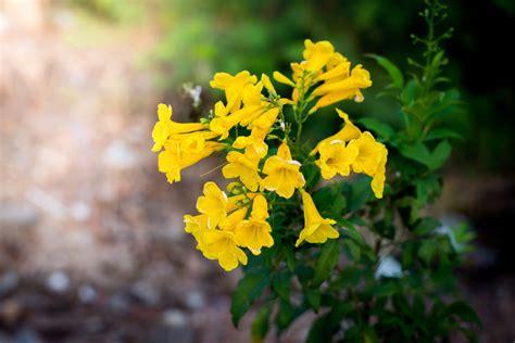 yellow bells  easy plant  desert landscaping