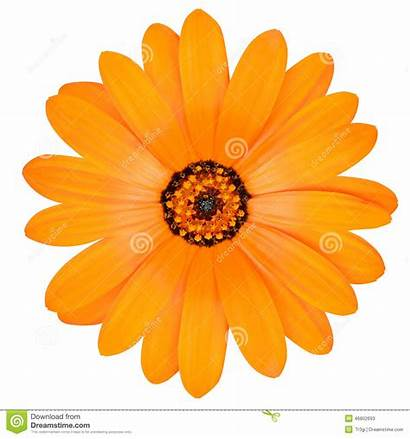 Marigold Orange Flower Clipart Pot Marigolds Bloom