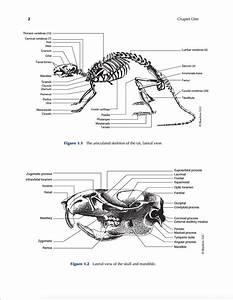 Image Result For Rat Anatomy