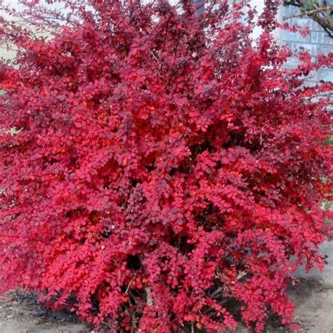 Berberis Thunbergii Atropurpurea by Berberis Thunbergii Atropurpurea Nana Royalplant Ro