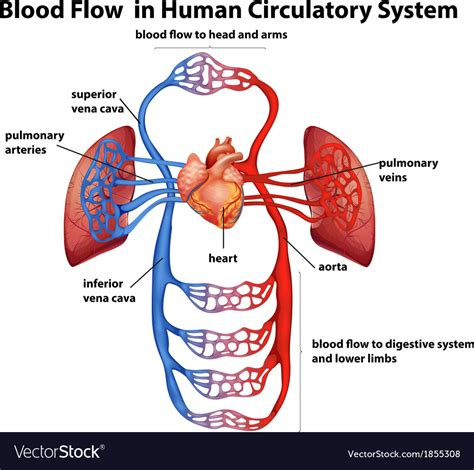 Blood Flow In Human Circulatory System Royalty Free Vector