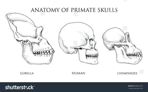 diagram monkey skeleton diagram