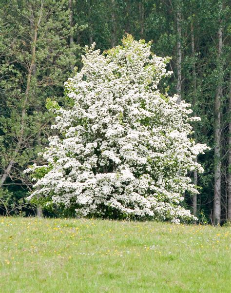 hawthorn tree hawthorn tree care tips for growing hawthorn plants