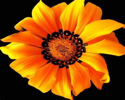 Black And Orange Flower Wallpaper orange flower on a black background wallpapers and images