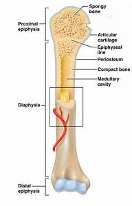 34 Diagram Of A Long Bone