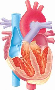 Diagram Of Human Heart Without Labels - Anatomy Organ