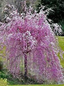 Taille De Cerisier : cerisier du japon 39 kiku shidare sakura 39 prunus serrulata ~ Melissatoandfro.com Idées de Décoration