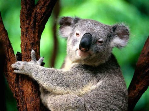 The Beauty Koala